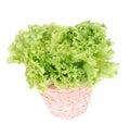 Batavia lettuce Royalty Free Stock Photo