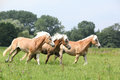Batch of chestnut horses running together in freedom front some trees Stock Photos