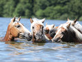 Batch of chestnut horses swimming in water nice the Stock Image