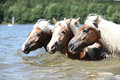 Batch of chestnut horses swimming in the water in summer Stock Images