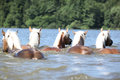Batch of chestnut horses swimming in the water in summer Stock Photography