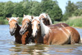 Batch of chestnut horses in water young the Stock Photos