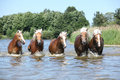 Batch of haflingers moving in the wather lake summer Stock Photos