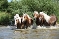 Batch of haflingers running in the wather summer Stock Images