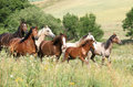 Batch of horses running in flowers on pasturage Stock Photography
