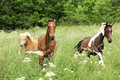 Batch of horses running on pasturage chestnut brown and skewbald Royalty Free Stock Image
