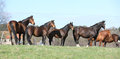 Batch of horses standing on pasturage together Royalty Free Stock Image