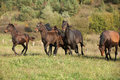 Batch of kabardin horses running in autumn together Royalty Free Stock Photography