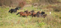 Batch of kabardin horses running in autumn together Stock Images