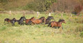 Batch of kabardin horses running in autumn together Stock Photo