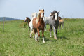 Batch of welsh ponnies running together on pasturage beautiful green Stock Image