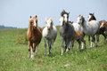 Batch of welsh ponnies running together on pasturage nice green Stock Images