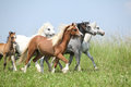 Batch of welsh ponnies running together on pasturage nice green Stock Image