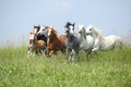 Batch of welsh ponnies running together on pasturage nice green Stock Photos