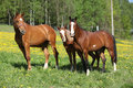Batch of western horses on pasturage spring Stock Images