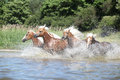 Batch of young chestnut horses in water running Stock Photos