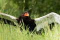 Bateleur eagle african snake in long grass Stock Photo