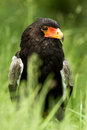 Bateleur eagle african snake in long grass Stock Photography