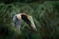 Bateleur Eagle, Terathopius ecaudatus, brown and black bird of prey fly in the nature habitat, Kenya, Africa.  Wildlife scene form Royalty Free Stock Photo