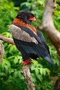 Bateleur Eagle, Terathopius ecaudatus, brown and black bird of prey in the nature habitat, sitting on the branch, Kenya, Africa Royalty Free Stock Photo