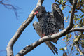 Bateleur Eagle (Terathopius ecaudatus) Royalty Free Stock Photo