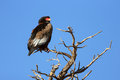 Bateleur perched on top of a tree kalahari desert south africa Royalty Free Stock Images