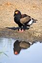 Bateleur terathopius ecaudatus in kruger national park south africa Royalty Free Stock Image