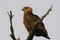Bateleur terathopius ecaudatus in kruger national park south africa Royalty Free Stock Photos