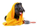 After bath scotch terrier in yellow towel sitting on a white background Royalty Free Stock Photo