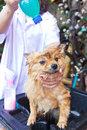 Bath time for brown pomeranian shower Royalty Free Stock Photo