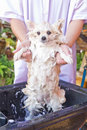 Bath time for white pomeranian shower Royalty Free Stock Photo
