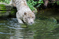 Bath time a white tiger entering into the water Stock Image