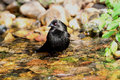 Bathing Bronzed Cowbird Stock Photography