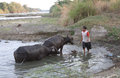 Bathing buffalo farmers were bufallo in the river in sukoharjo central java indonesia Stock Images