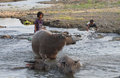 Bathing buffalo farmers were bufallo in the river in sukoharjo central java indonesia Royalty Free Stock Photography