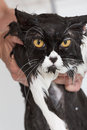 Bathing a cat bath or shower to persian breed Royalty Free Stock Photos