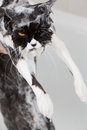 Bathing a cat bath or shower to persian breed Stock Images