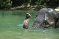 Bathing elephant endanger take a bath in a river in aceh sumatera indonesia Stock Photography