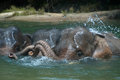 Bathing elephant endanger take a bath in a river in aceh sumatera indonesia Royalty Free Stock Photography