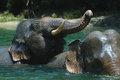 Bathing elephant endanger take a bath in a river in aceh sumatera indonesia Royalty Free Stock Photo