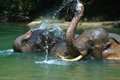Bathing elephant endanger take a bath in a river in aceh sumatera indonesia Royalty Free Stock Image