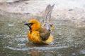 Bathing Oriole