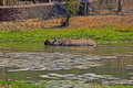 Bathing rhino indian in nandankanan zoo Royalty Free Stock Photography