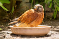 Bathing rock kestrel Royalty Free Stock Photo
