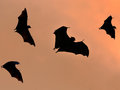 Bats flying at sunset against sun and golden sky may use for horrible theme or halloween theme Stock Photo