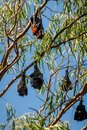 Bats hanging from gum tree in Katherine, Australia Royalty Free Stock Photo
