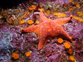 Batstar asterina miniata and orange cup corals shot while scuba diving on santa cruz island part of the channel islands off the Stock Image