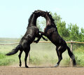 Battle of two black stallion Royalty Free Stock Photo