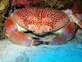 Batwing Coral Crab Stock Photography