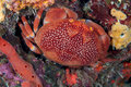 Batwing Coral Crab Stock Photos